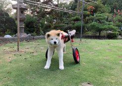 秋田犬 栃木県