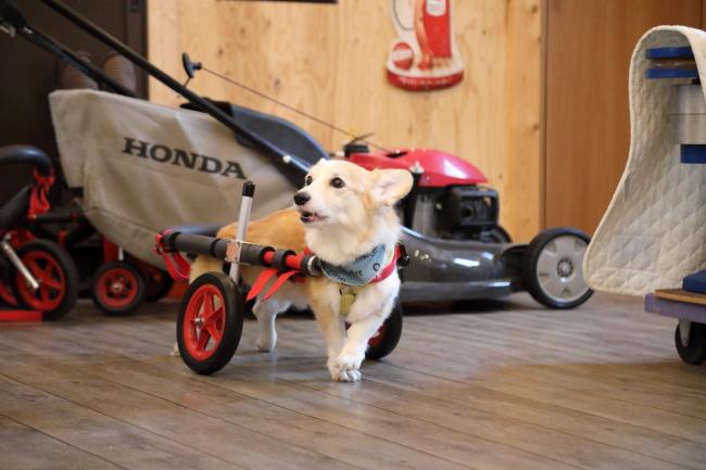 愛知県のコーギー はなちゃんの犬の車椅子