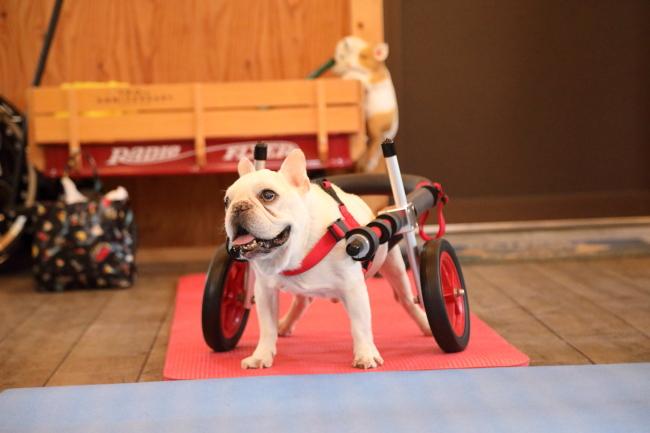 神奈川県のフレンチブルドッグ イクオ君の犬の車椅子