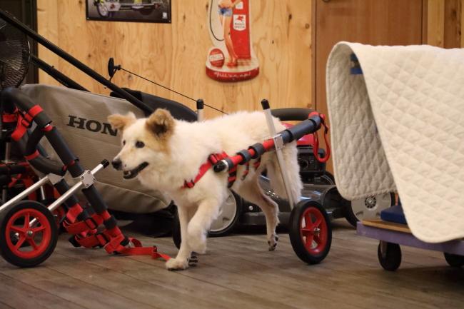 兵庫県の中型犬 ムクちゃんの犬の車椅子