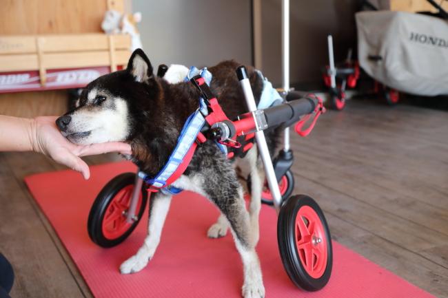 岐阜県の柴犬 みなみちゃんの犬の車椅子