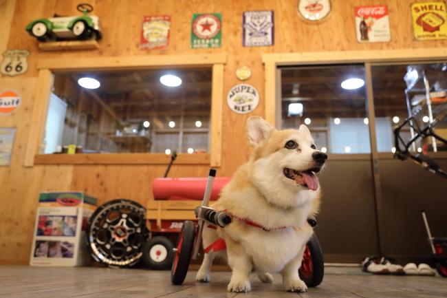 愛知県のコーギー ディーンちゃんの犬の車椅子