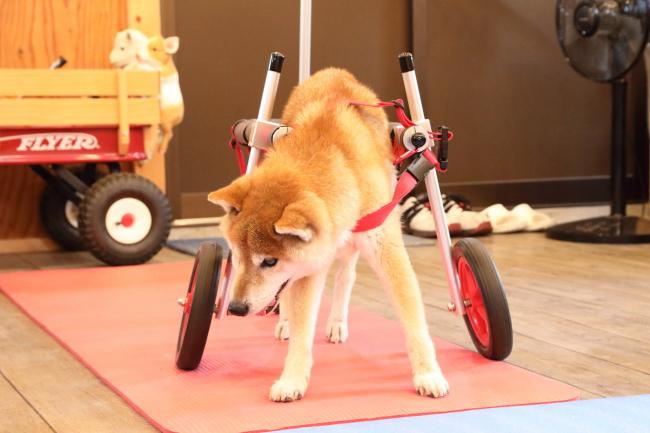 愛知県の柴犬 まさむねちゃんがいらっしゃいました。
