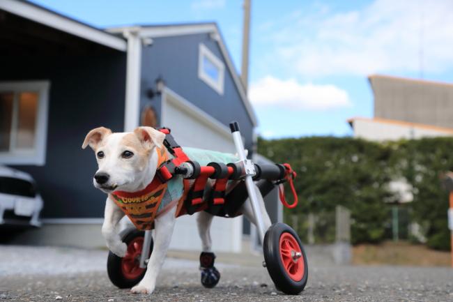 大阪府のジャックラッセルテリア アビちゃんの犬の車椅子