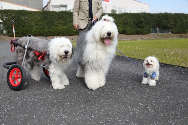 富山県のオールドイングリッシュシープドッグ 雪乃ちゃんの犬の車椅子