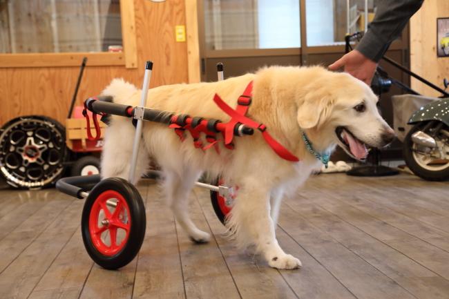 大阪府のゴールデンレトリーバー ごんじちゃんの犬の車椅子