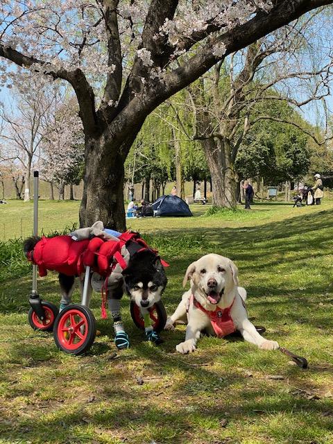 埼玉県の柴犬 クゥちゃんのお写真が新聞に掲載されました。