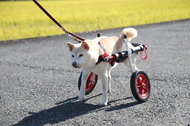 富山県の柴犬ミックス、はなちゃんの犬の車椅子