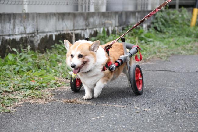 岐阜県のコーギー さくらちゃんの犬の車椅子