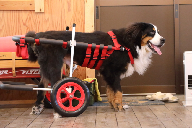 京都府のバーニーズマウンテン バンフちゃんの犬の車椅子