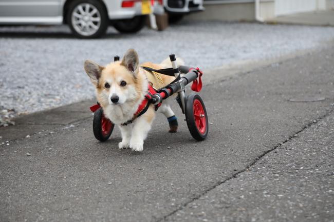 静岡県のコーギー サブレちゃんの犬の車椅子
