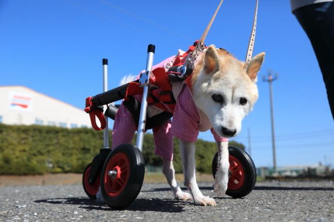 愛知県の柴犬 はなちゃんがいらっしゃいました