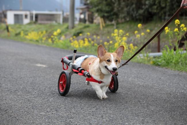 大阪府のコーギー犬 のぶながちゃんがいらっしゃいました