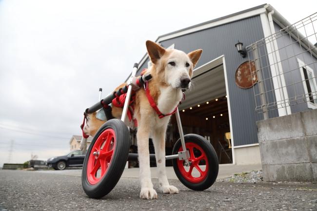 三重県の大型犬 シューちゃんがいらっしゃいました