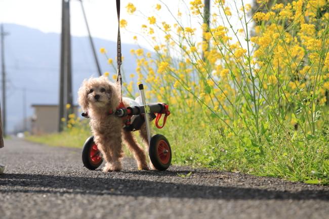 岐阜県のトイプードル チョコちゃんの犬の車椅子が完成しました。