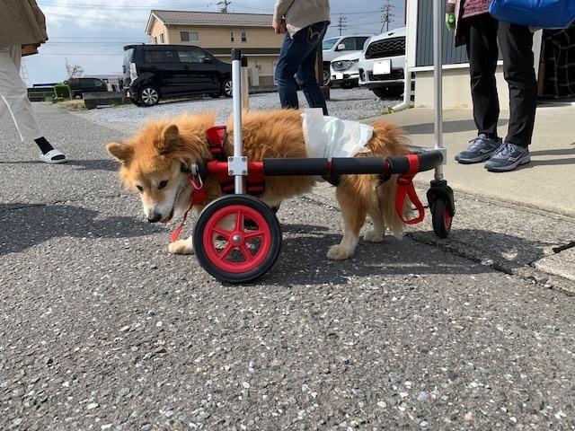 岐阜県のコーギーのミックス犬 リクちゃんがいらっしゃいました
