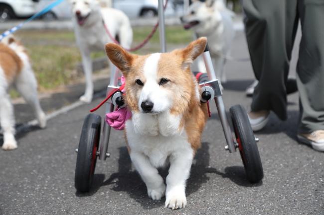 岐阜県のコーギー パインちゃんの犬の車椅子