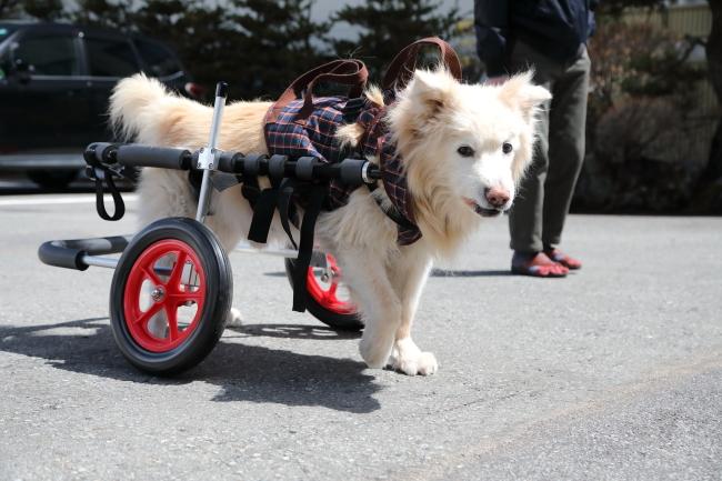 群馬県のゴールデンレトリバーと秋田犬のミックス犬 パピー君の犬の車椅子