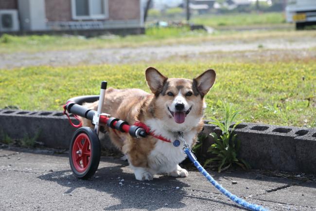 岐阜県のコーギー犬 ルイ君がいらっしゃいました。