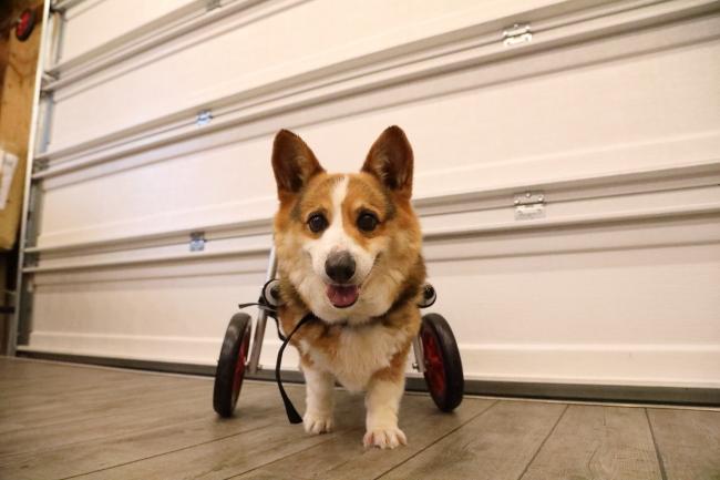 岐阜県のコーギーとボーダーコリーのミックス犬 ロビン君がいらっしゃいました。