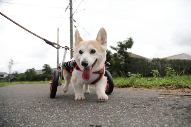 愛知県のコーギー ももこちゃんがいらっしゃいました。