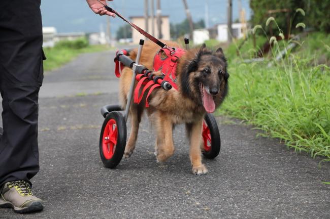 兵庫県のベルジアン シェパード ドッグ タービュレン むつきちゃんがいらっしゃいました。