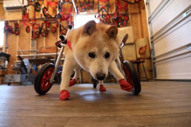 愛知県の柴犬 ノムさんがいらっしゃいました。