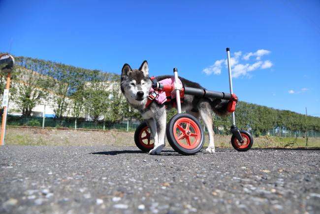 愛知県の柴犬 メグちゃんがいらっしゃいました。